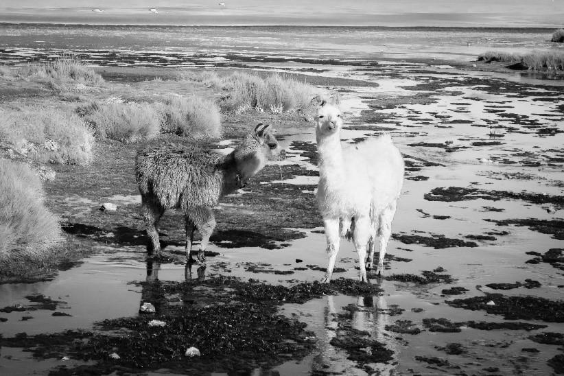 tendance lama